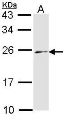 Endothelin-3 Antibody 01 ml